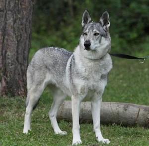 Czechoslovakian Wolf Dogs For Sale In The U S